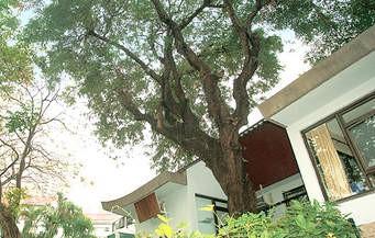 Sampaloc Tree
